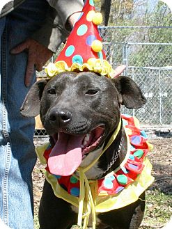 American Staffordshire Terrier/Labrador Retriever Mix Dog for adoption in Kittery, Maine - Ralphie *Comeback Kid*