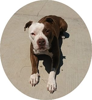 Pit Bull Terrier Mix Dog for adoption in Pleasanton, California - Petra-Courtesy Posting