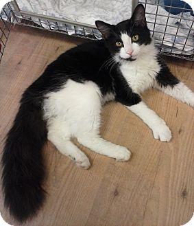 Domestic Mediumhair Kitten for adoption in Acushnet, Massachusetts - Sassafras