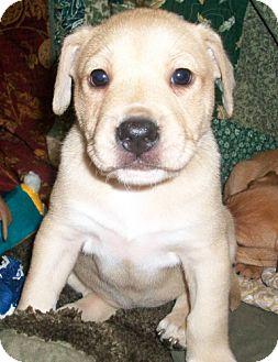 Labrador Retriever Mix Puppy for adoption in Port St. Joe, Florida - Joecee