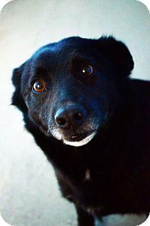 Labrador Retriever/Border Collie Mix Dog for adoption in Fort Smith, Arkansas - Fernando