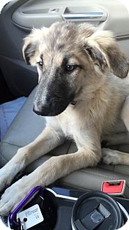 Australian Shepherd/Labrador Retriever Mix Puppy for adoption in WADSWORTH, Illinois - Daisy