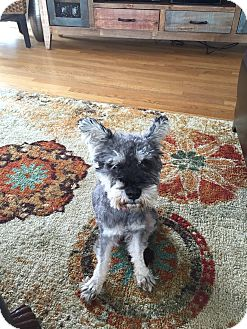 Schnauzer (Miniature) Dog for adoption in Chicago, Illinois - Jimmy