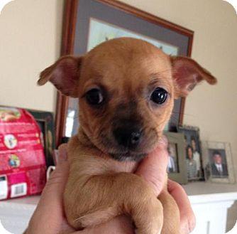 Chihuahua/Dachshund Mix Puppy for adoption in Newburgh, Indiana - Vera Wang