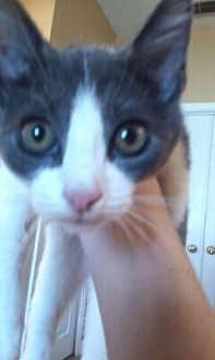 Domestic Shorthair Cat for adoption in St. Cloud, Florida - Lu Lu