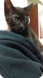 Domestic Shorthair Cat for adoption in Reisterstown, Maryland - Ariel