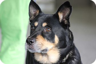 Shepherd (Unknown Type)/Cattle Dog Mix Dog for adoption in Hanover, Ontario - Freddie