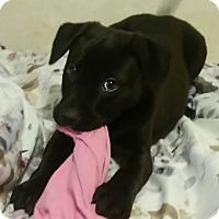 Adopt A Pet :: Squidget - Detroit, MI