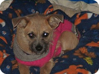 Cairn Terrier Mix Dog for adoption in Liberty Center, Ohio - Winkie