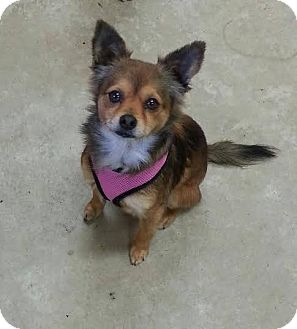 Tibetan Spaniel/Chihuahua Mix Dog for adoption in Pluckemin, New Jersey - Baby