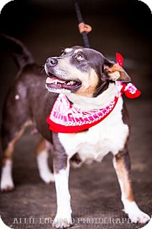 Australian Cattle Dog/Australian Cattle Dog Mix Dog for adoption in Southern Pines, North Carolina - Chestnut