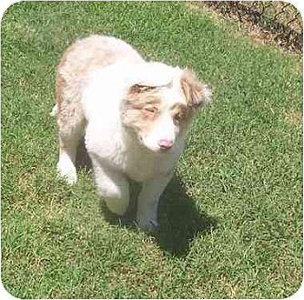 Australian Shepherd Puppy for adoption in Lavon, Texas - Mason