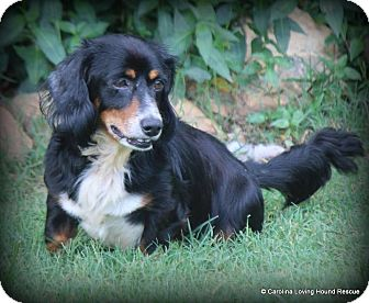 Dachshund Dog for adoption in Greenville, South Carolina - Kendrick