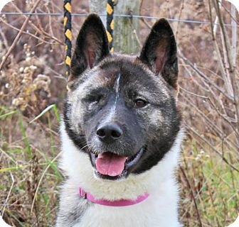 Akita/Siberian Husky Mix Dog for adoption in Toms River, New Jersey - Paisley, Courtesy Listing
