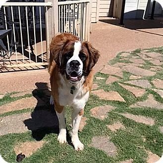 St. Bernard Dog for adoption in McKinney, Texas - Hulk