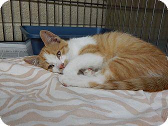 Domestic Shorthair Kitten for adoption in Henderson, North Carolina - Dixon