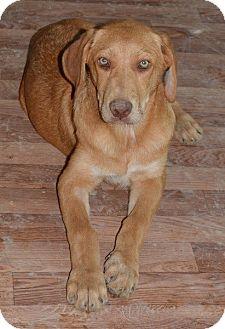 German Shepherd Dog/Labrador Retriever Mix Puppy for adoption in Morristown, New Jersey - Kodiak