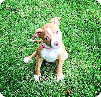 Labrador Retriever/Boxer Mix Puppy for adoption in Rochester, New Hampshire - Addie