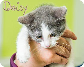 Domestic Shorthair Kitten for adoption in Somerset, Pennsylvania - Daisy
