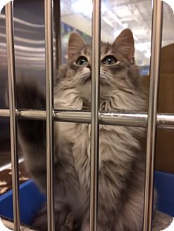 Domestic Longhair Kitten for adoption in Byron Center, Michigan - Everest