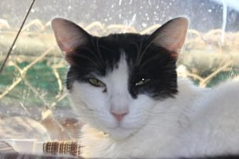 Domestic Shorthair Cat for adoption in Morgan Hill, California - Melody