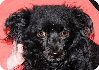 Chihuahua Mix Dog for adoption in Spokane, Washington - Watson