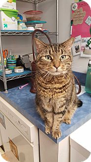 Domestic Shorthair Cat for adoption in Chesapeake, Virginia - Jingle