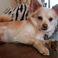 Adopt A Pet :: Noah Balboa - Phoenix, AZ