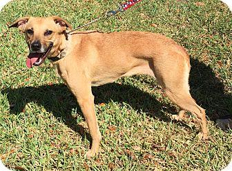 Black Mouth Cur/Carolina Dog Mix Dog for adoption in Orlando, Florida - Amberlynn#6F (Roxy)