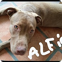 Adopt A Pet :: ALFIE - Palm Bay, FL