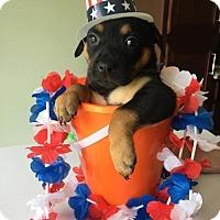 Adopt A Pet :: Callista's Puppy CARO - Murrells Inlet, SC