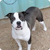 American Staffordshire Terrier/Boxer Mix Dog for adoption in Kansas City, Missouri - Laurelai
