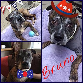 American Pit Bull Terrier Mix Dog for adoption in Baltimore, Maryland - Bruno