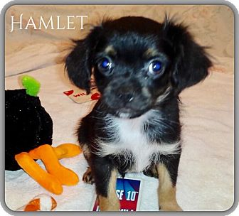 Pug/Chihuahua Mix Puppy for adoption in DeForest, Wisconsin - Hamlet