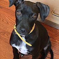 Adopt A Pet :: Noodles - North Bend, WA