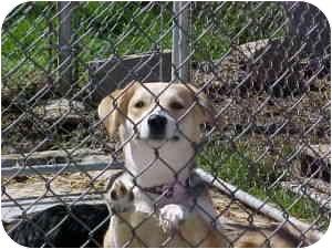 Beagle/Labrador Retriever Mix Dog for adoption in Bel Air, Maryland - Trixie