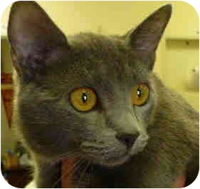 Domestic Shorthair Cat for adoption in San Clemente, California - LILLY