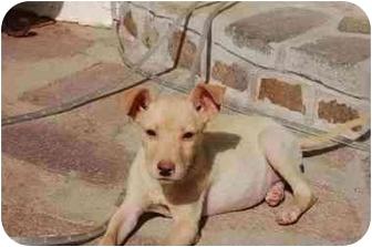 Labrador Retriever/Terrier (Unknown Type, Medium) Mix Puppy for adoption in Chula Vista, California - Ashley