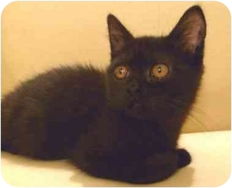 Persian Kitten for adoption in Beverly Hills, California - Nate