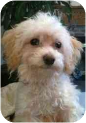 Poodle (Toy or Tea Cup) Puppy for adoption in Hilliard, Ohio - Snoopy