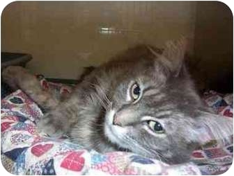Domestic Longhair Cat for adoption in San Diego/North County, California - Penelope
