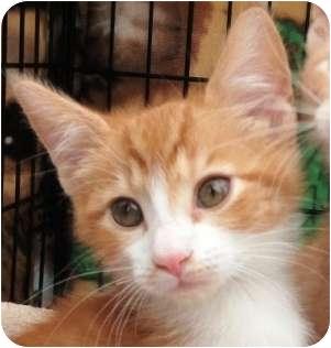 Domestic Mediumhair Kitten for adoption in Lincolnton, North Carolina - Chloe Elaine