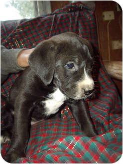 Labrador Retriever/Staffordshire Bull Terrier Mix Puppy for adoption in West Los Angeles, California - Sally