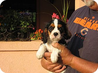 Cavalier King Charles Spaniel Puppy for adoption in Allentown, Pennsylvania - Ainsley