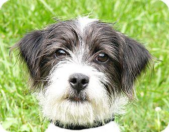 Schnauzer (Miniature)/Westie, West Highland White Terrier Mix Dog for adoption in Mocksville, North Carolina - Gretchen