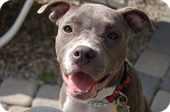 Pit Bull Terrier Puppy for adoption in Los Angeles, California - Violet