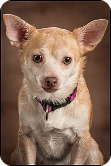 Chihuahua Mix Dog for adoption in Owensboro, Kentucky - Bella