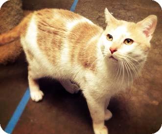 Domestic Shorthair Cat for adoption in Merrifield, Virginia - Pillow Talk