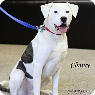 American Bulldog/Labrador Retriever Mix Dog for adoption in Alpharetta, Georgia - Chance