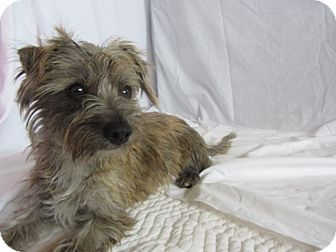 Terrier (Unknown Type, Small) Mix Dog for adoption in Ridgway, Colorado - Sally